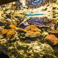 伊豆の海にもサンゴの水槽