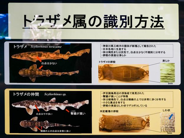 トラザメ属の識別方法