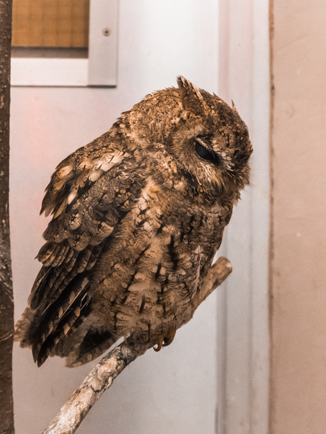 夜行性動物館のオオコノハズク