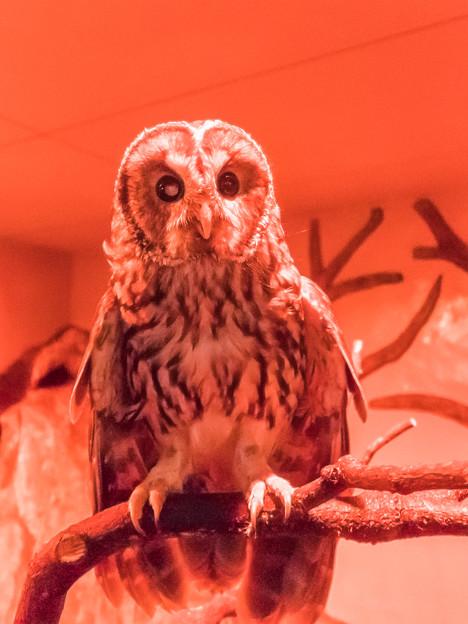 夜行性動物館のフクロウ
