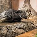 夜行性動物館のアフリカタテガミヤマアラシ