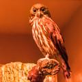 夜行性動物館のアオバズク