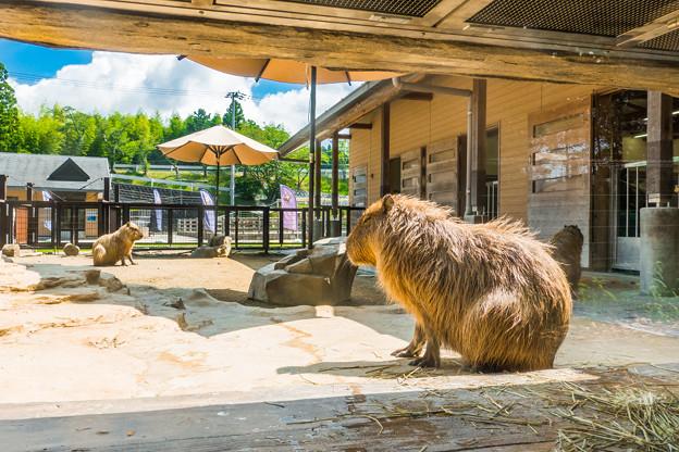日本平動物園 カピバラ舎