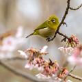 Photos: 白山旗桜  メジロ