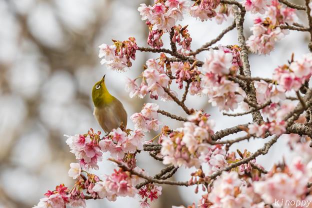 Photos: 白山旗桜  メジロ 2