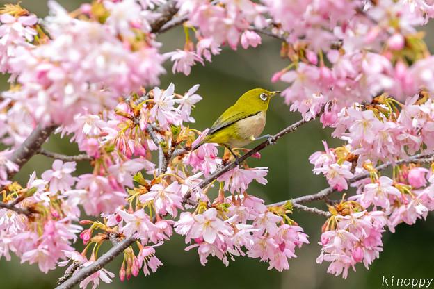 Photos: 白山旗桜  メジロ 3
