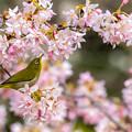 白山旗桜  メジロ 4