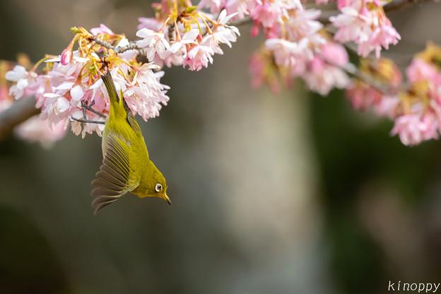 白山旗桜  メジロ 5