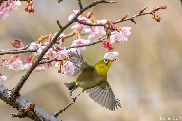 Photos: 白山旗桜  メジロ 6