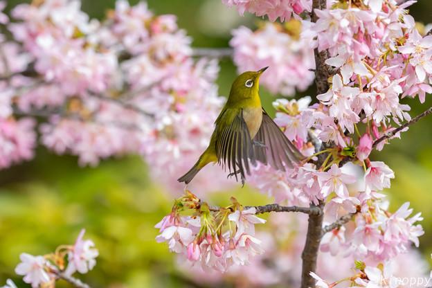 白山旗桜  メジロ 8