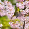 Photos: 白山旗桜  メジロ 8