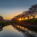 草場川桜並木 夕景