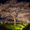 草場川桜並木 夕景 3