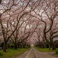 円応寺 桜並木
