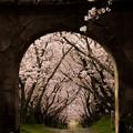 円応寺 桜並木 2