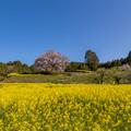 馬場の山桜 4