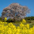 馬場の山桜 5