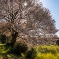 馬場の山桜 6