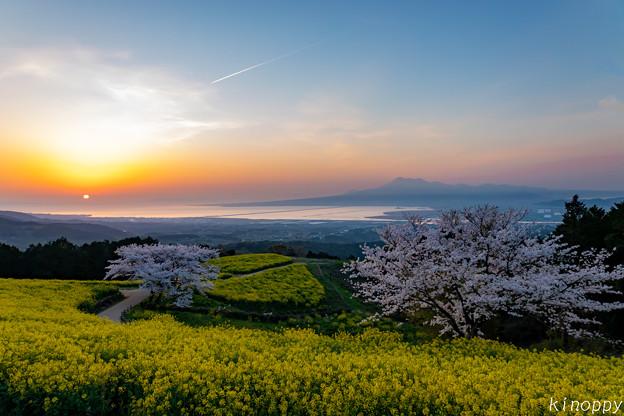 白木峰高原 桜と菜の花 4