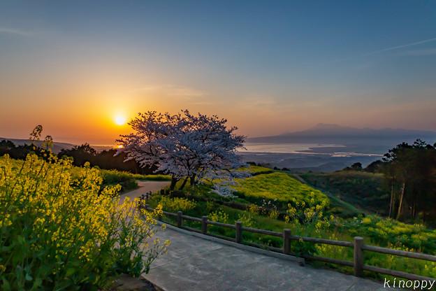 白木峰高原 桜と菜の花 5