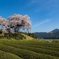 納戸料 百年桜