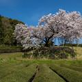 納戸料 百年桜 2