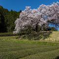 納戸料 百年桜 3