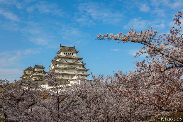 姫路城 桜 2