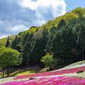 ヤマサ蒲鉾 芝桜
