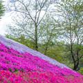 ヤマサ蒲鉾 芝桜 3