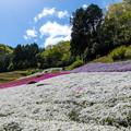 ヤマサ蒲鉾 芝桜 4