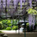 住吉神社 藤の花 2