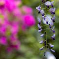 住吉神社 藤の花 3