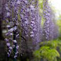 住吉神社 藤の花 4