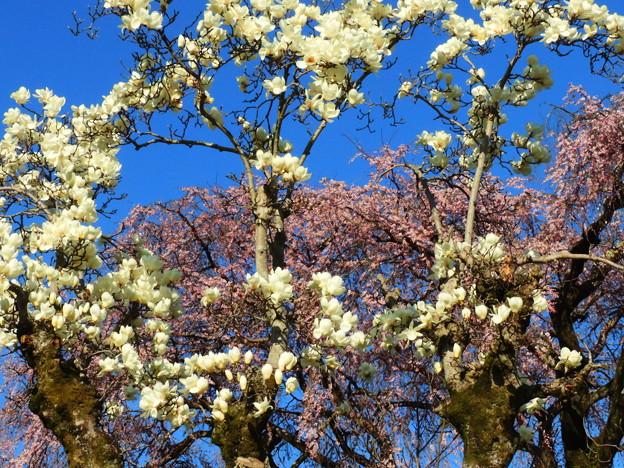 1405 林陽寺の枝垂れ桜