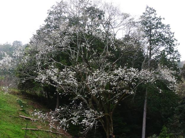 1409 芋観桜
