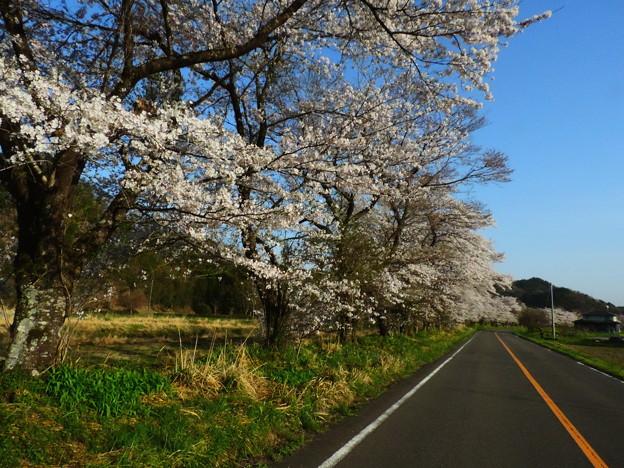 1411 有名でない桜並木