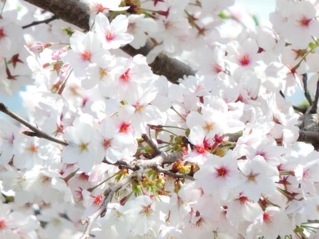 1412 桜声