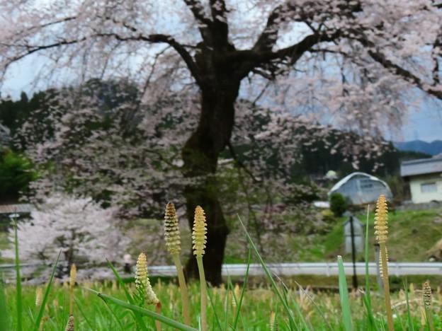1413 土筆と桜