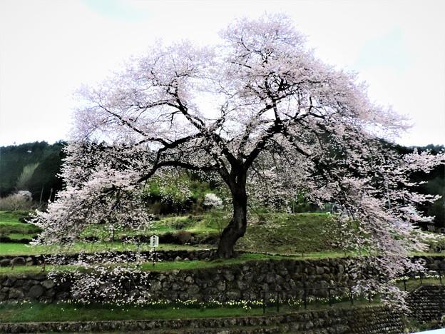 1414 春告桜