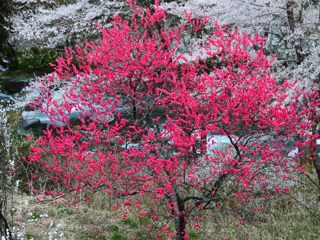 2400 ハナモモと桜