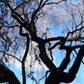 1416 桜花色々