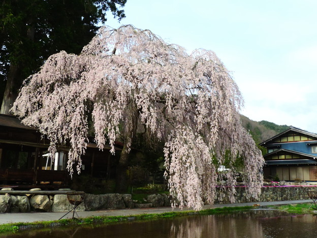 1417 春日神明神社の桜