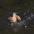 Photos: カワセミ、離水
