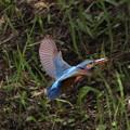 カワセミ 親鳥 雌