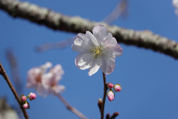 比々多神社の十月桜