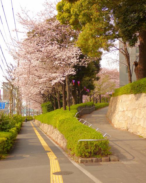 飛鳥山公園の桜 2016.3.31