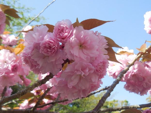八重桜 関山