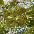 八重桜 御衣黄