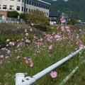 コスモス咲く散歩道